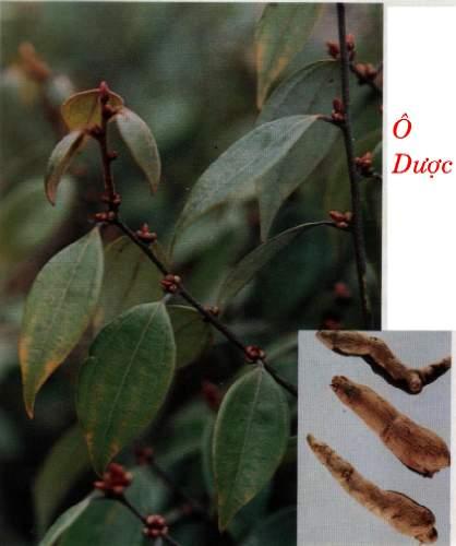 Tác dụng chữa bệnh của cây ô dược