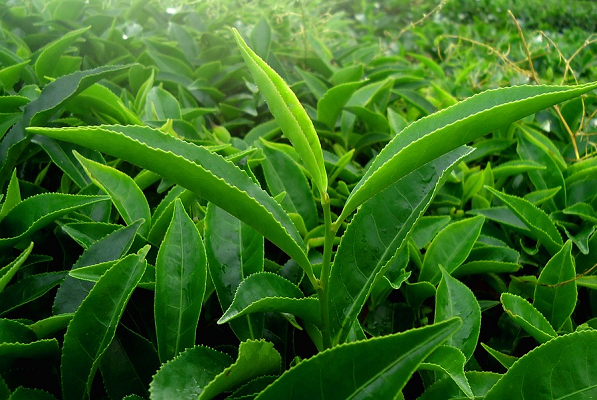 5 loại cây nhà lá vườn giúp khử mùi vùng kín hiệu quả